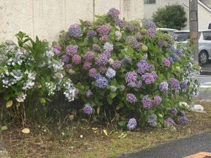 6月の花といえば…?☆中川・港店☆